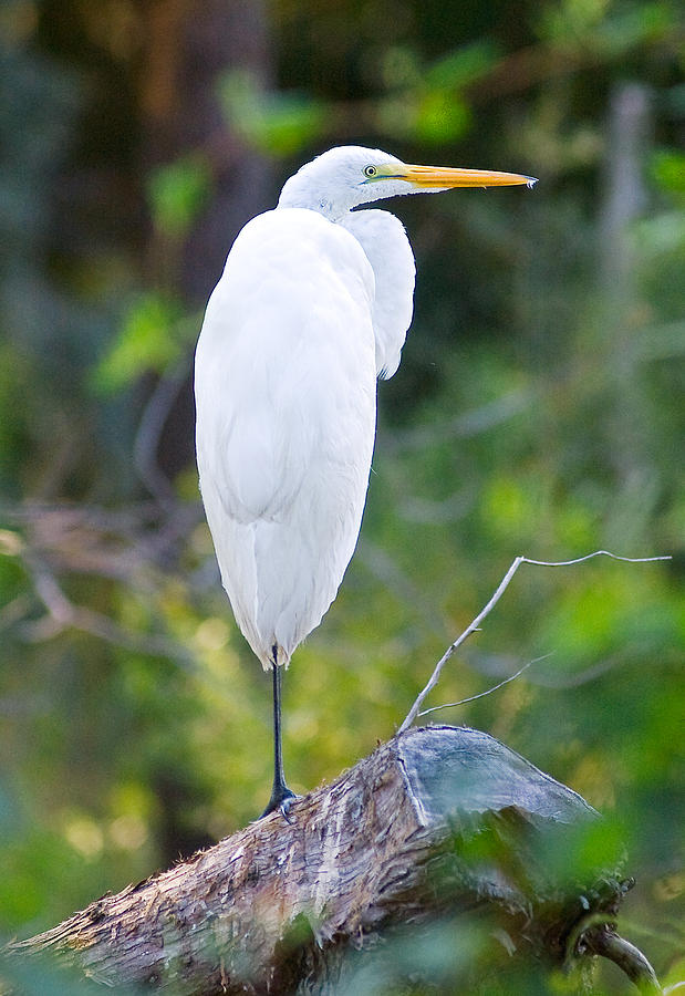 Standing Egret Photograph