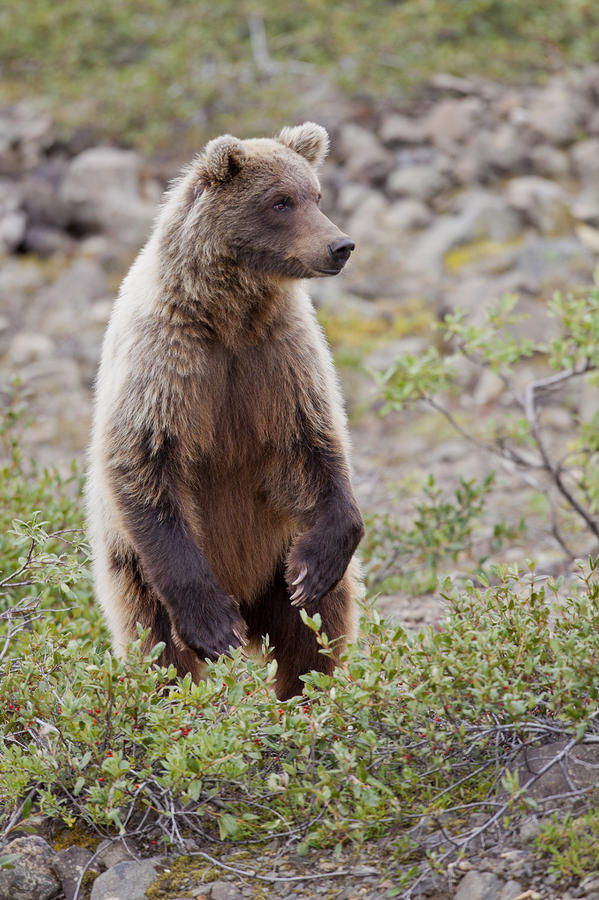 Grizzly Bears Standing Up