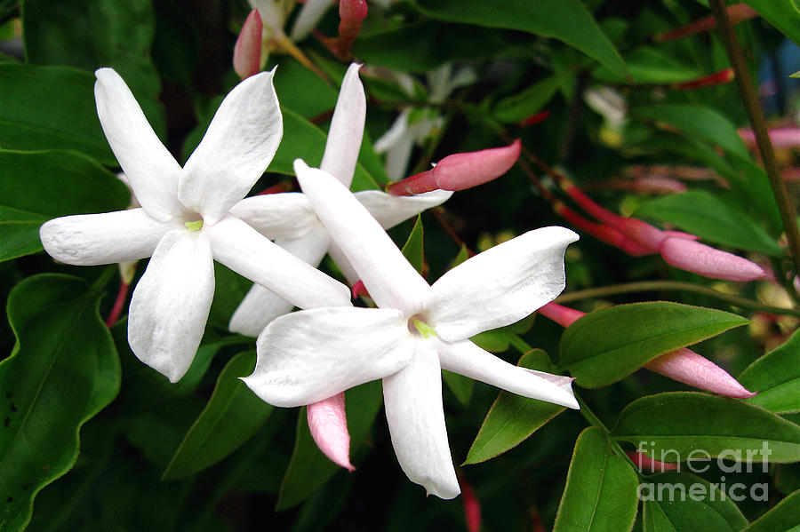 Star Jasmine Photograph  - Star Jasmine Fine Art Print