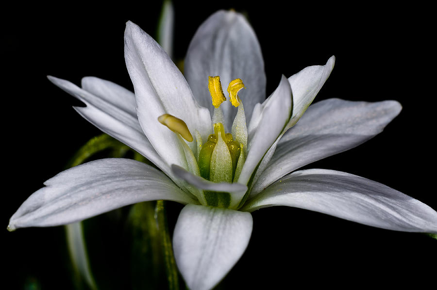 Star Of Bethlehem Photograph
