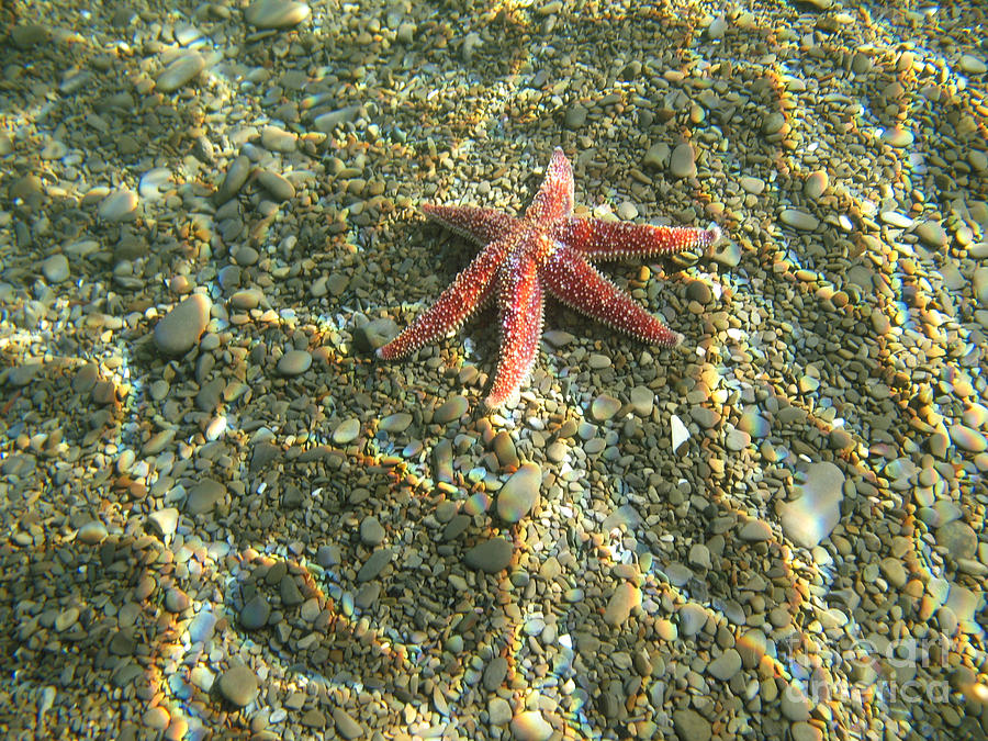 Starfish In Shallow Water Photograph