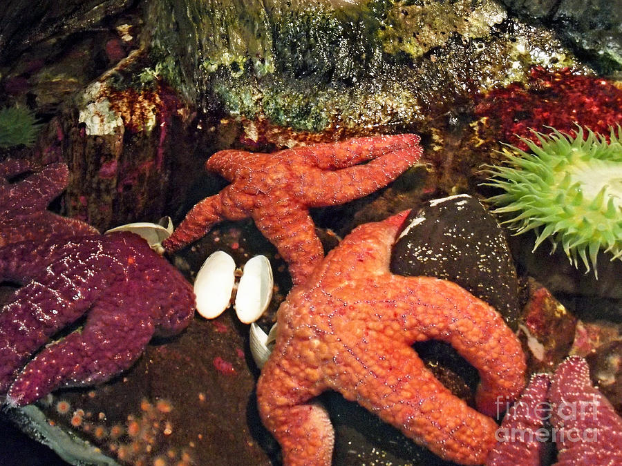 Starfish Medley Photograph - Starfish Medley by Methune Hively