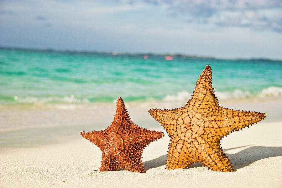 Starfish On Tropical Caribbean Beach Photograph  - Starfish On Tropical Caribbean Beach Fine Art Print