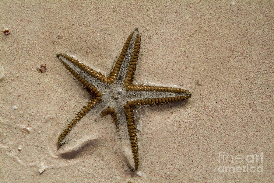 Starfish Partially Buried In White Sand Photograph