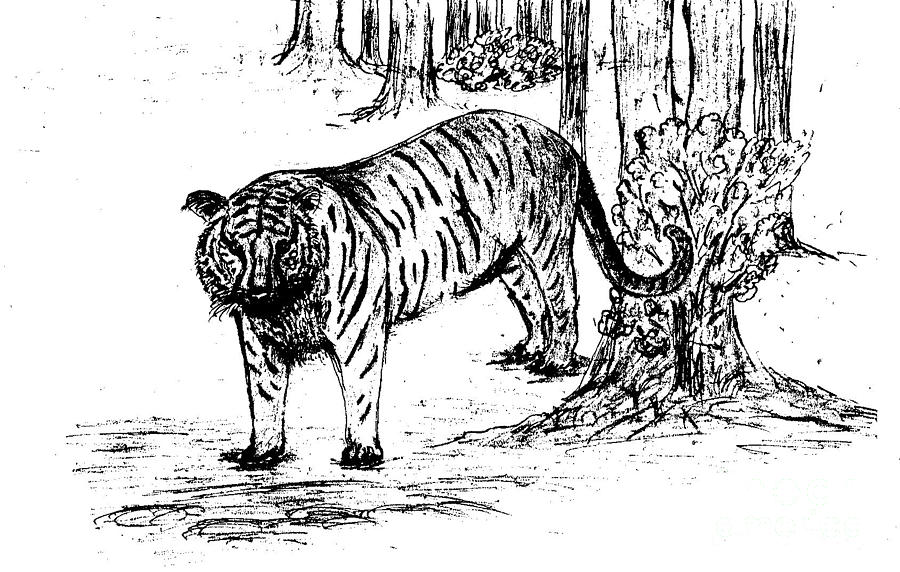 Staring Tiger Drawing