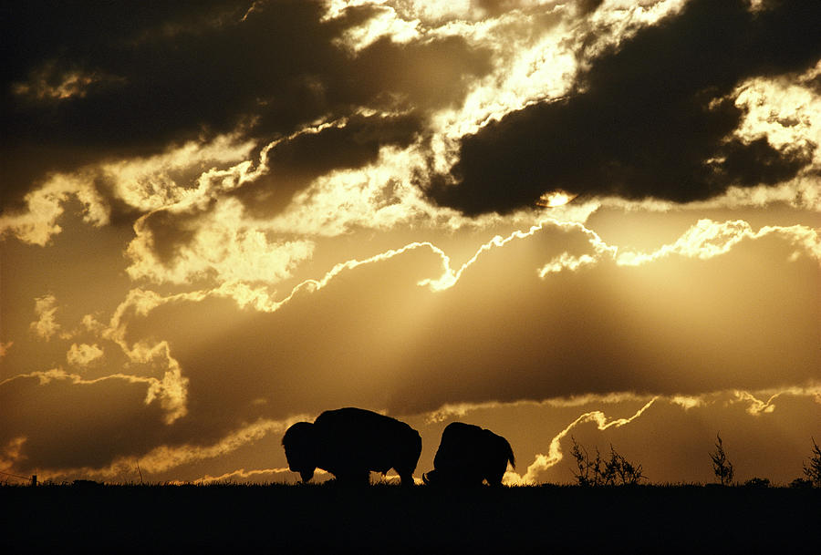 Stately American Bison Photograph