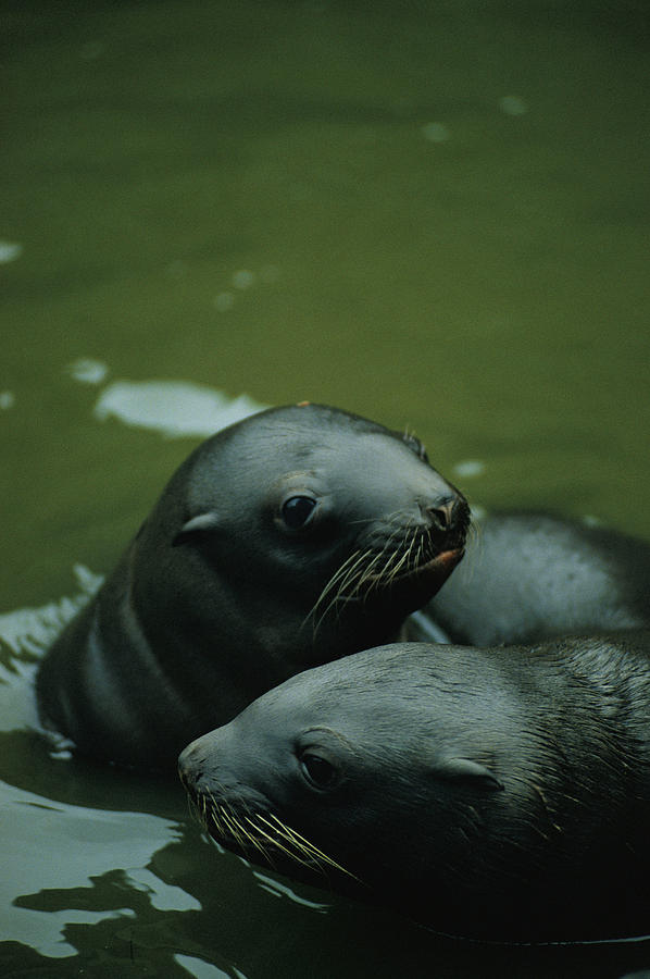 Animals Photograph - Steller Sea Lion Pups Eumetopias by Joel Sartore