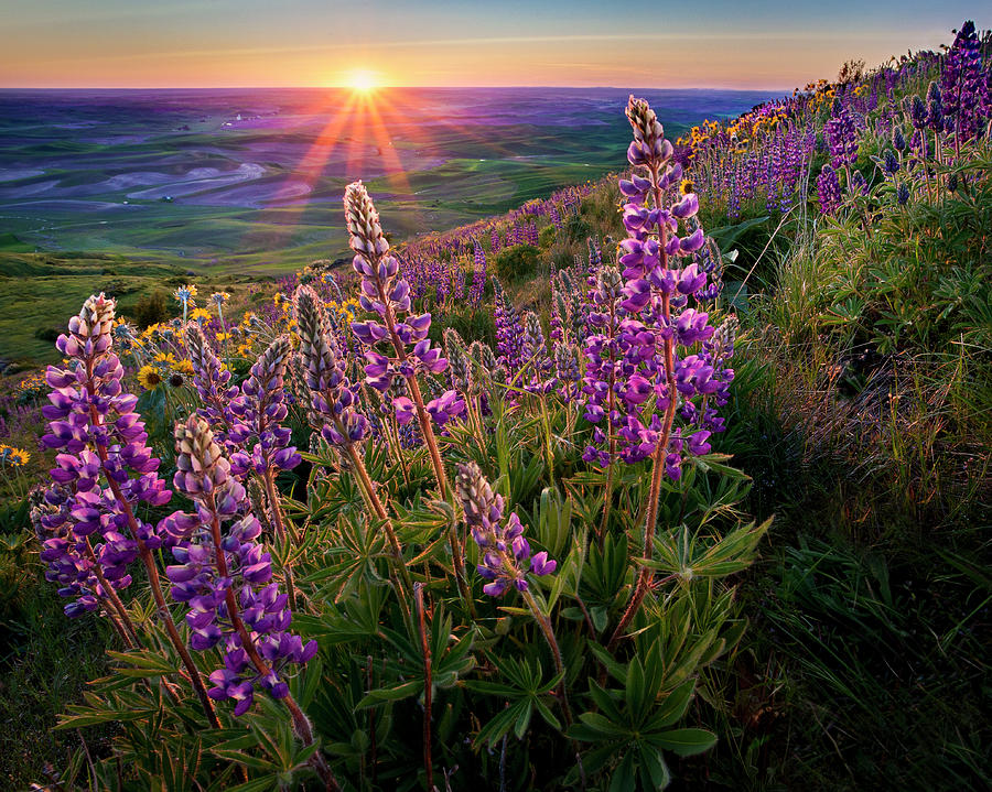 Steptoe Butte Lupine At Sunset Photograph