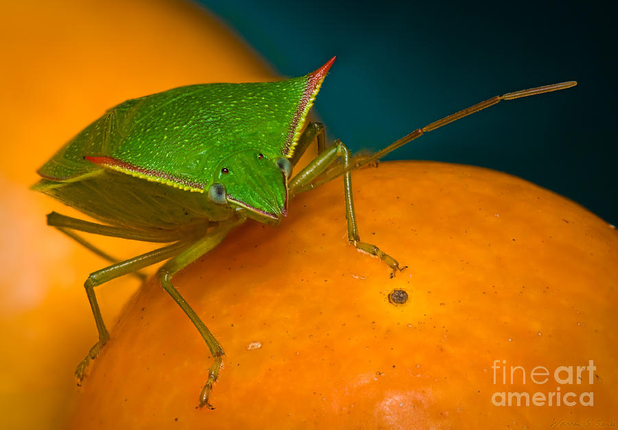 Stink Bug On Kumquats Photograph  - Stink Bug On Kumquats Fine Art Print