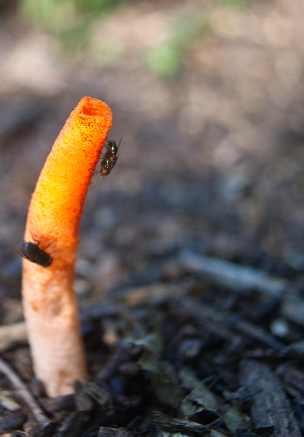 Stinkhorn And Flies Photograph