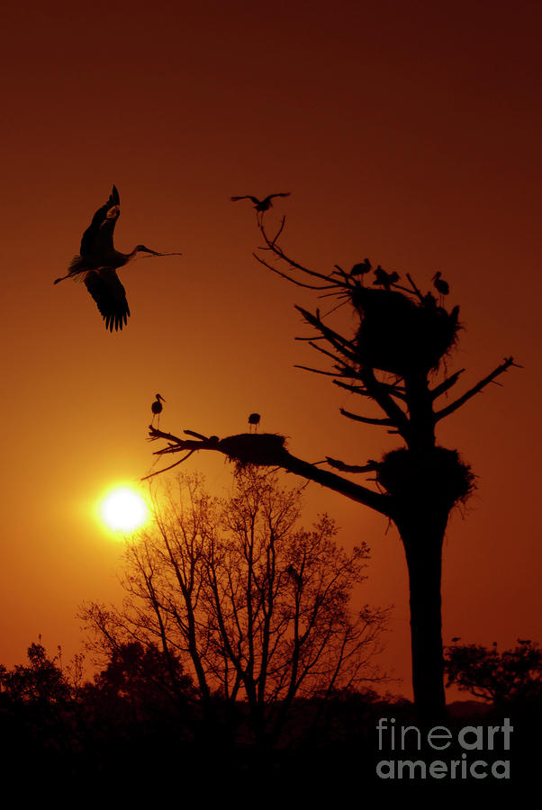 Storks Photograph