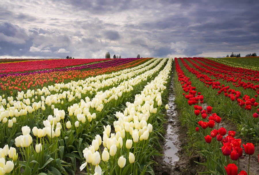 Storm Over Tulips Photograph