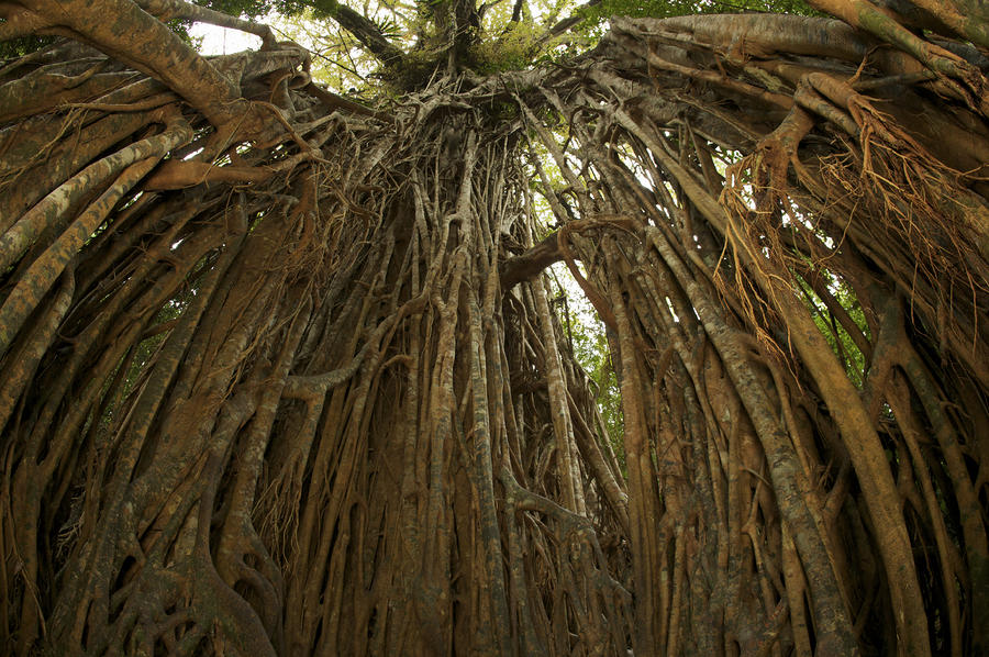 Strangler Fig Tree, Ficus Virens, Known Photograph  - Strangler Fig Tree, Ficus Virens, Known Fine Art Print
