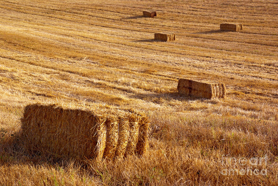 Straw Field Photograph