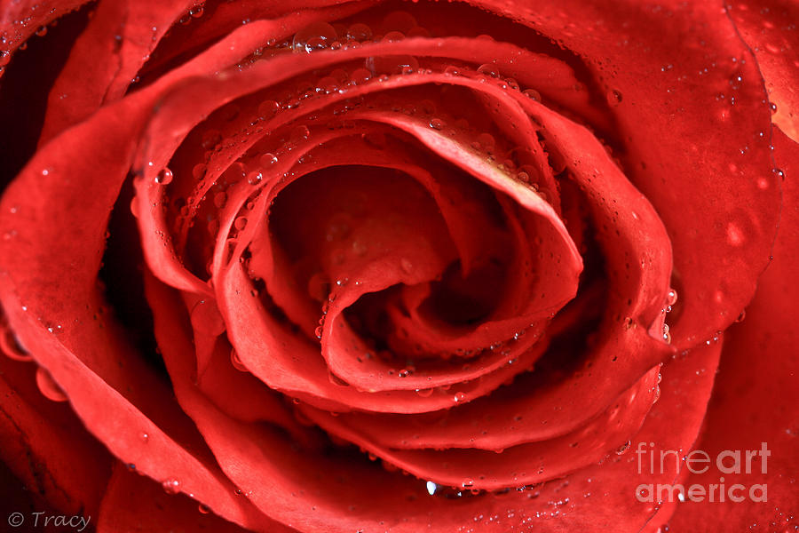 Strawberry Rose Photograph