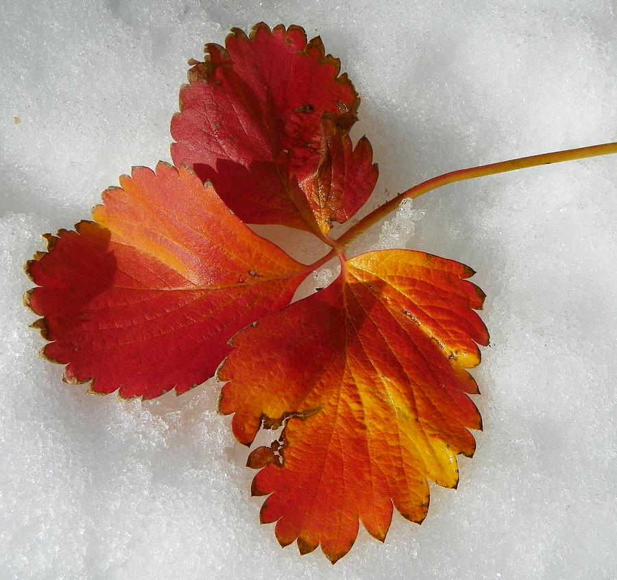 Strawberry Snow Photograph