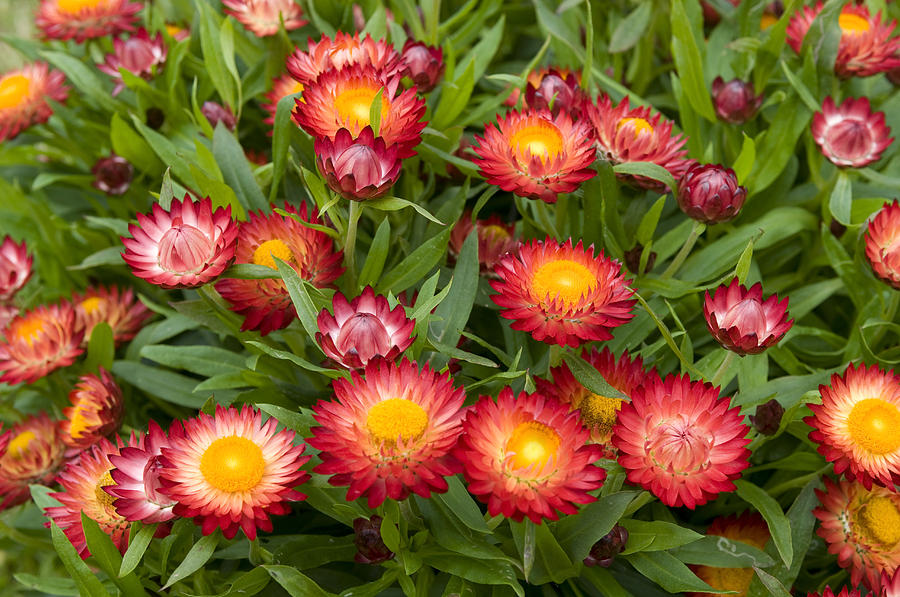 Strawflower Helichrysum Sp Red Variety Photograph By