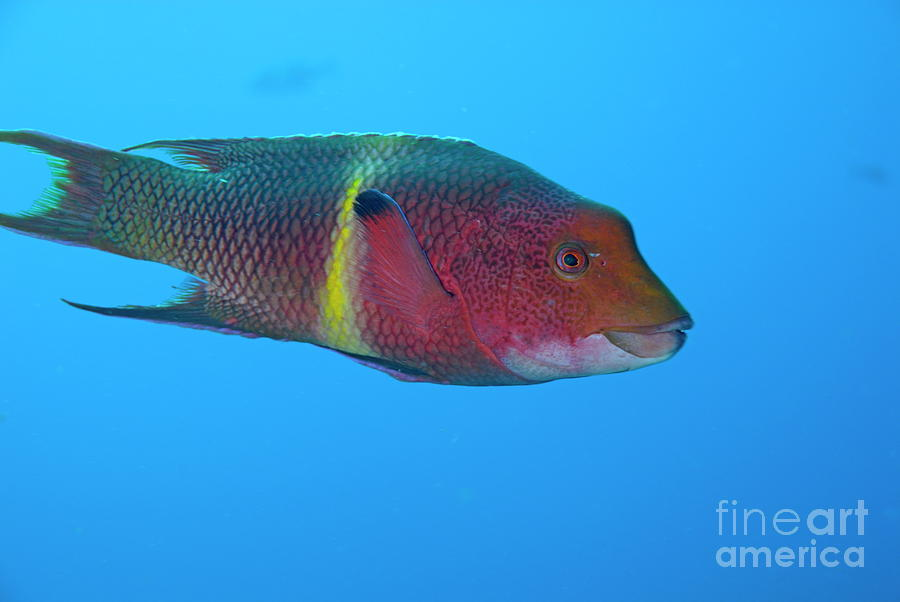Streamer Hogfish Or Mexican Hogfish Photograph