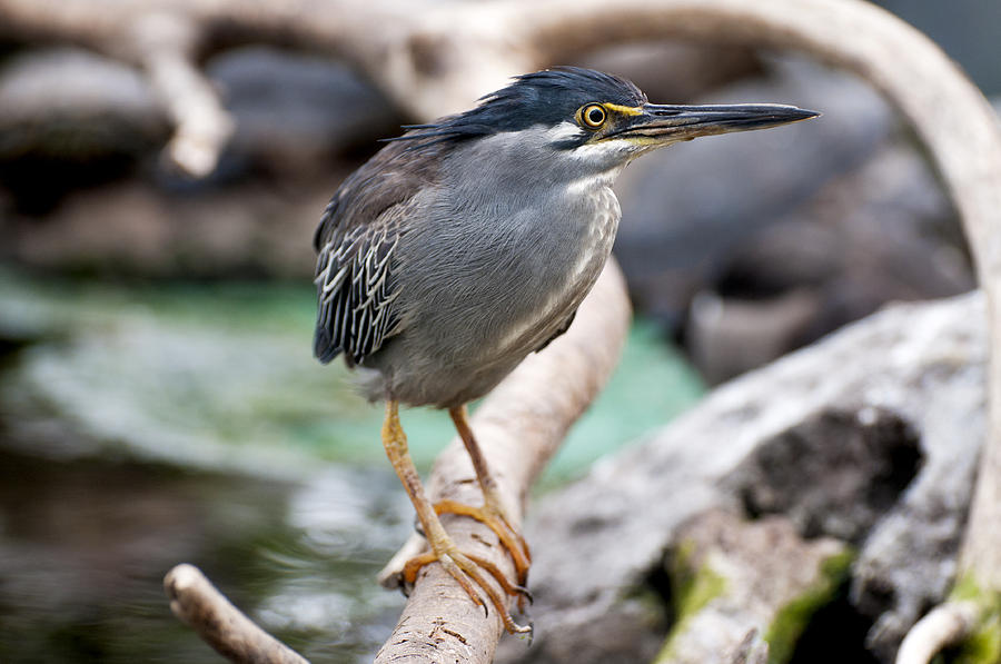 Striated Heron Photograph  - Striated Heron Fine Art Print