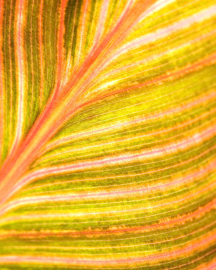 Striped Leaf Photograph