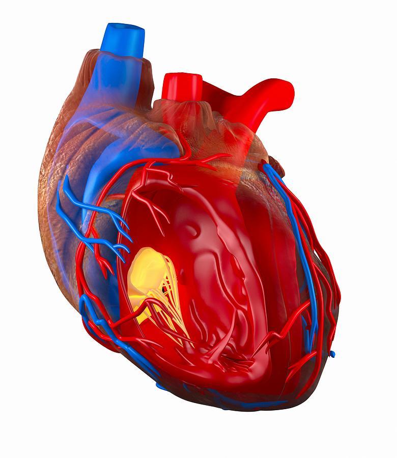 Structure Of A Human Heart, Artwork Photograph