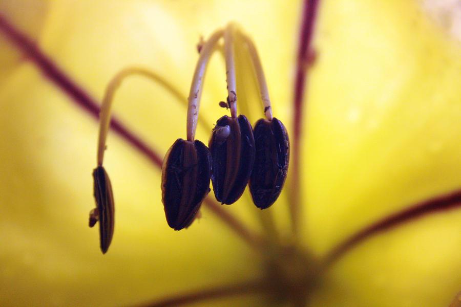 Study Of A Golden Cup Flower 4 Photograph