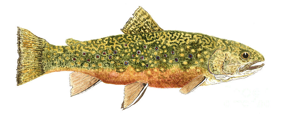 Study Of A Wild Brook Trout Painting
