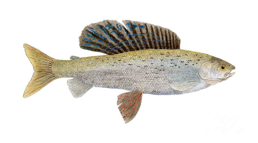 Study Of An Arctic Grayling In Montanacoloring Painting