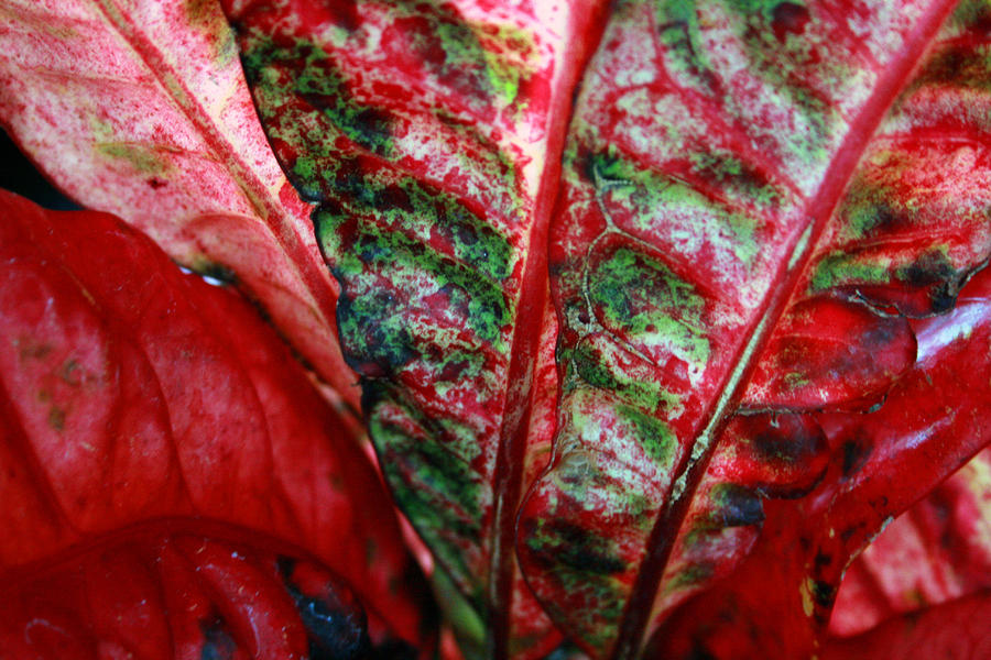 Crotons Photograph - Study Of The Croton 2 by Jennifer Bright