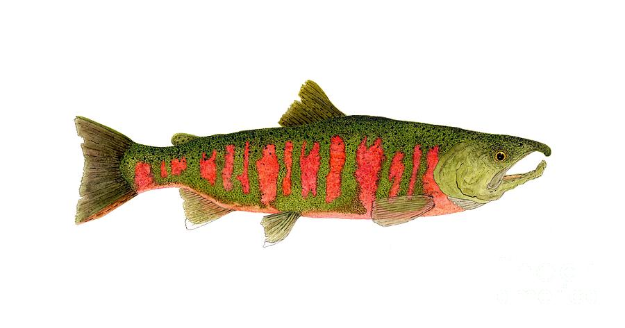 Study Of The Masu Or Cherry Salmon Painting