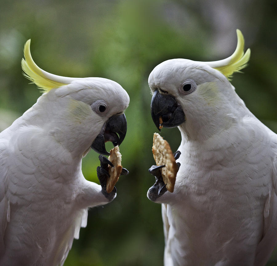 Sulphur Crested Cockatoo Pair Photograph  - Sulphur Crested Cockatoo Pair Fine Art Print