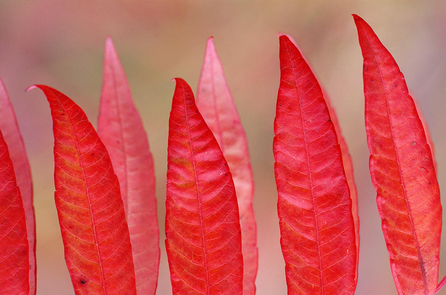 Sumac Leaves Rhus Coriaria In Fall Photograph  - Sumac Leaves Rhus Coriaria In Fall Fine Art Print