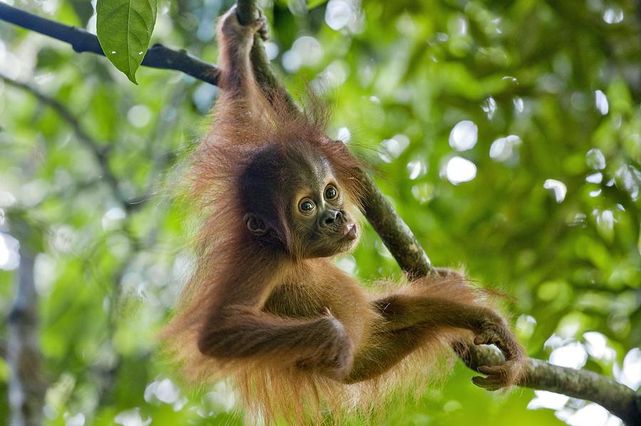 http://images.fineartamerica.com/images-medium-large/sumatran-orangutan-pongo-abelii-baby-suzi-eszterhas.jpg