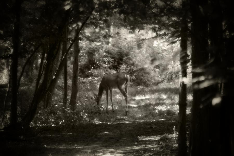 Summer Buck 2 Photograph  - Summer Buck 2 Fine Art Print