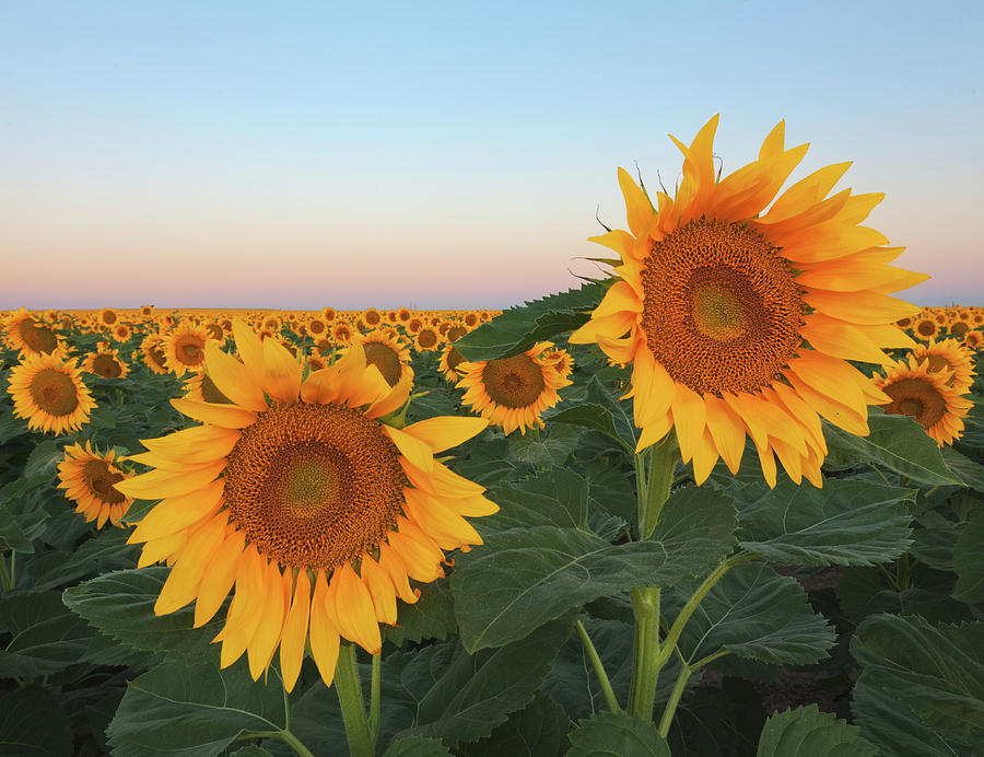 Summer Sunflowers In Field Photograph