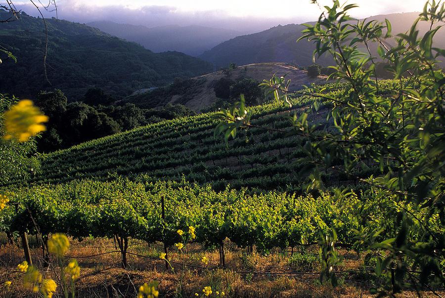 Summer Vineyard Photograph