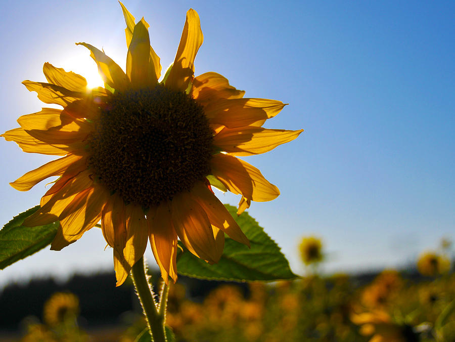 Sun And Sunflower Photograph  - Sun And Sunflower Fine Art Print
