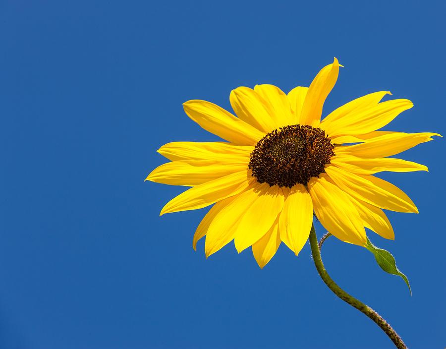 Photograph - Sun Flower by Alhaji Samura