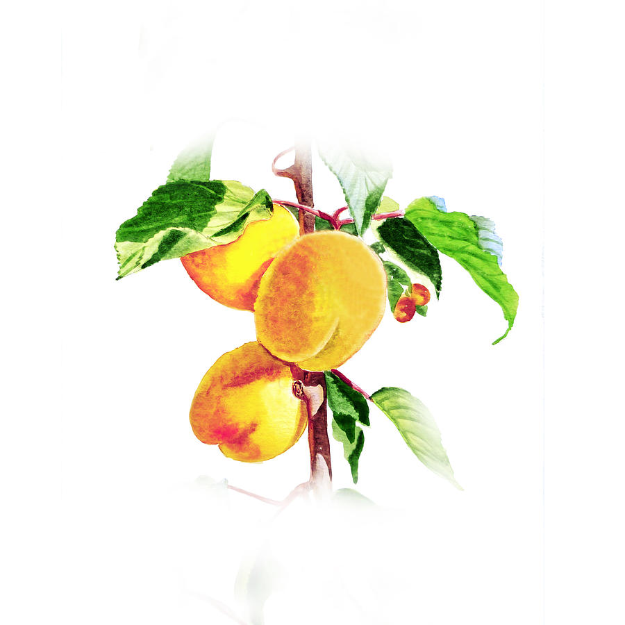 Sun Kissed Apricots Painting  - Sun Kissed Apricots Fine Art Print