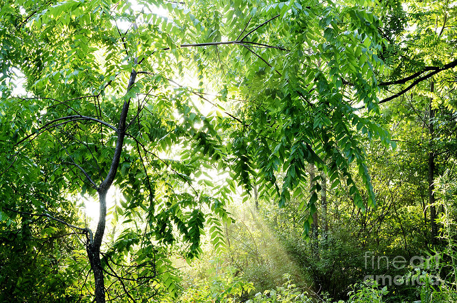 Juglans Nigra Photograph - Sun Rays Through Black Walnut Leaves by Thomas R Fletcher
