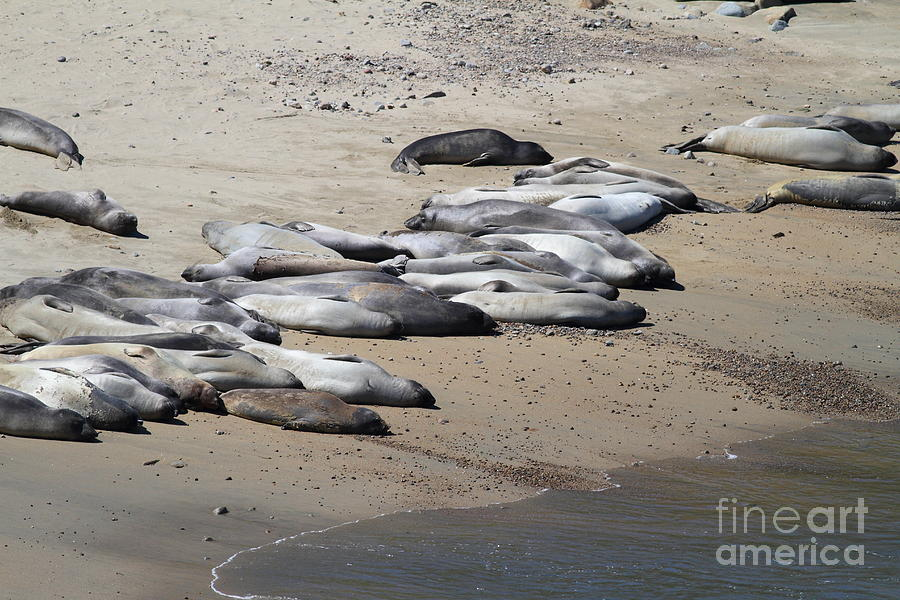 Sunbathing Elephant Seals Along A Beach At Point Reyes California . 7d16063 Photograph