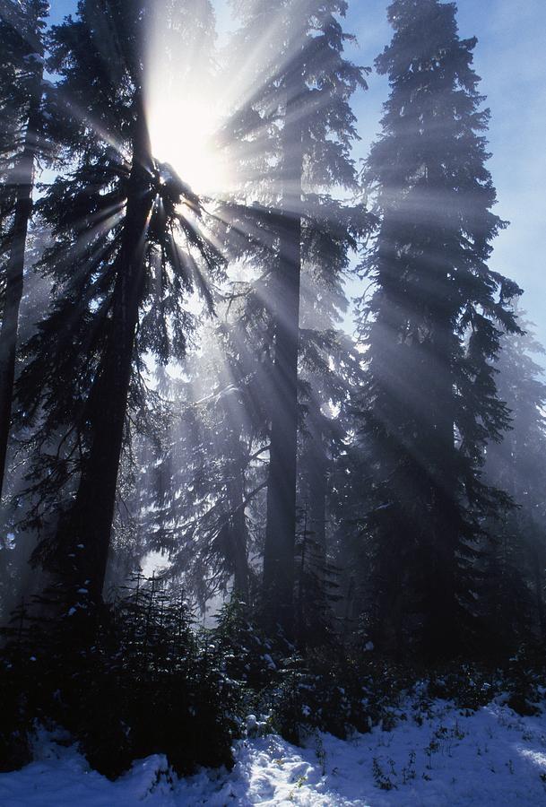 Sunbeams Through Pine Trees Photograph