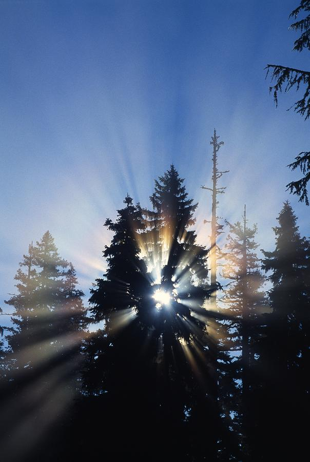 Sunburst Through Silhouetted Pine Trees Photograph