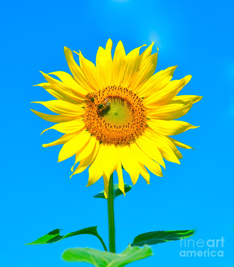 Sunflower And Bee Photograph  - Sunflower And Bee Fine Art Print