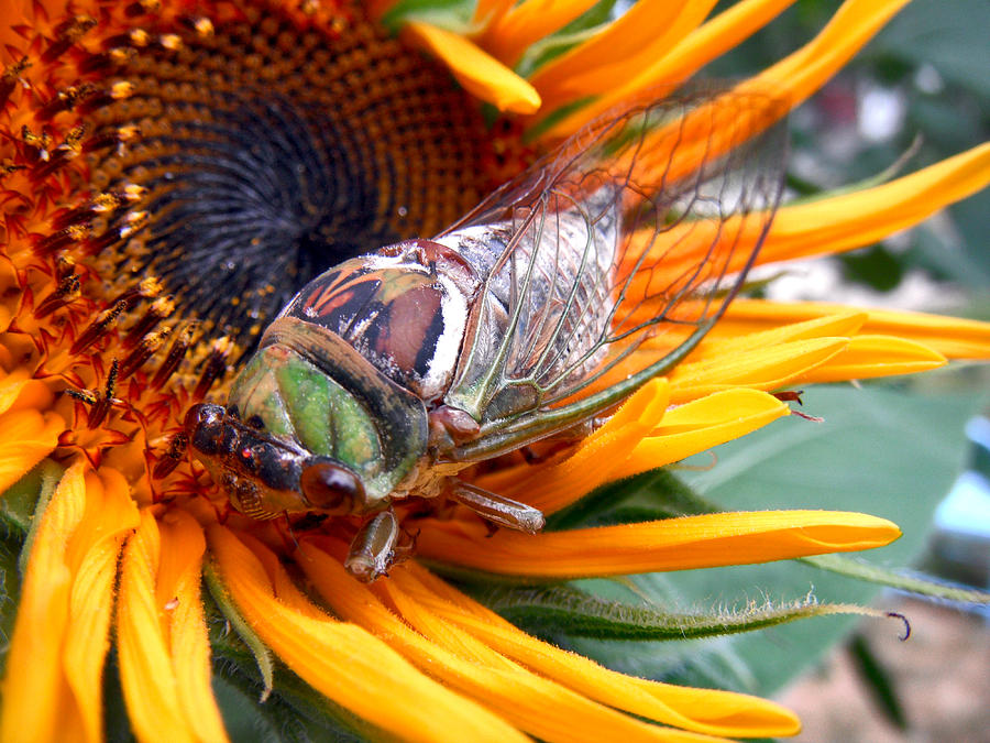 Sunflower And Insect  Photograph