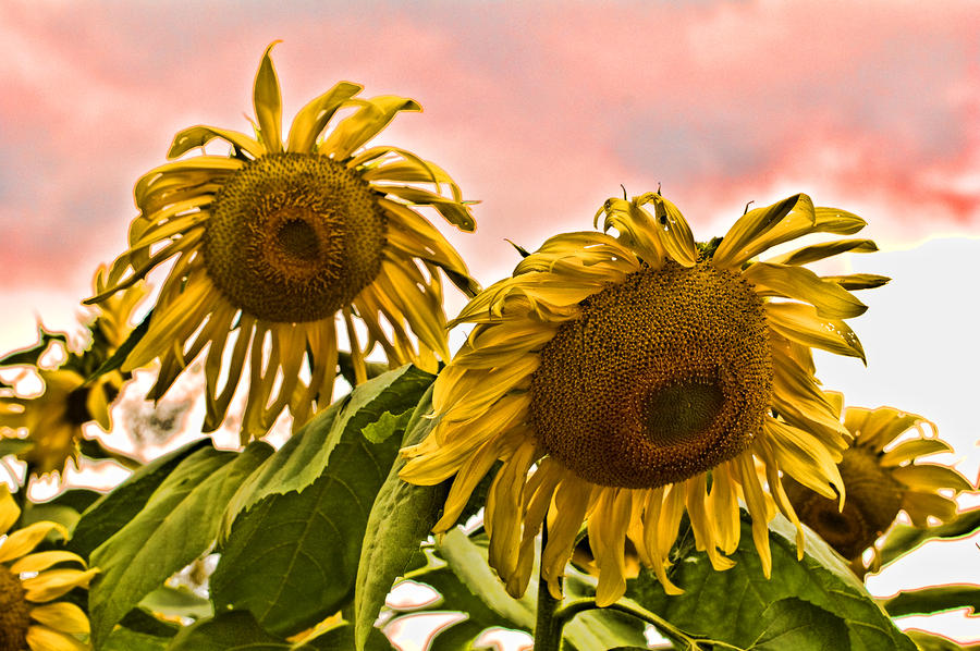Sunflower Art 1 Photograph  - Sunflower Art 1 Fine Art Print