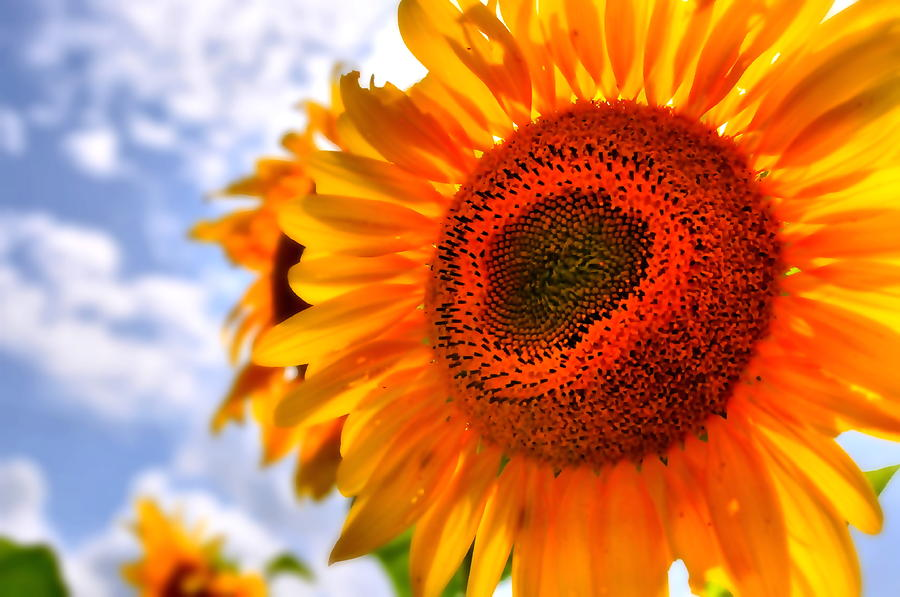 Sunflower Attack Photograph  - Sunflower Attack Fine Art Print