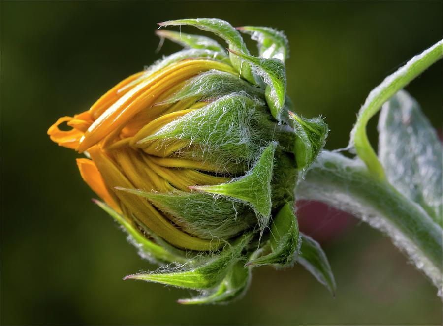 Sunflower Bud Photograph by Jeff Galbraith  |Sunflower Bud