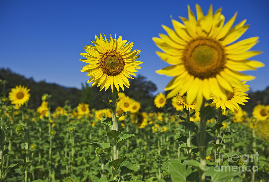 Nature Photograph - Sunflower by Dennis Flaherty and Photo Researchers