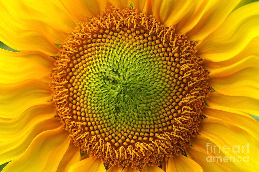 Sunflower Fantasy Photograph